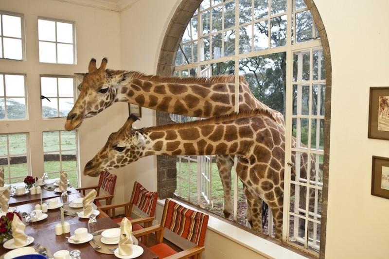 GiraffeManor11