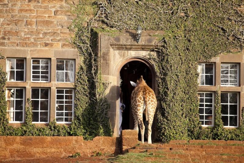 GiraffeManor4